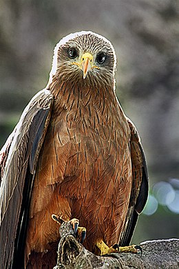 Ngorongoro Yellow-billed Kite.jpg