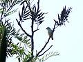 Nilgiri Flowerpecker - Mugilu Homestay.jpg