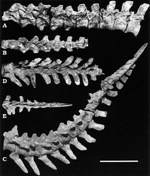 Nomingia - Vertebrae and tail of the holotype specimen