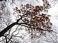Northern Red Oak (30486479704).jpg