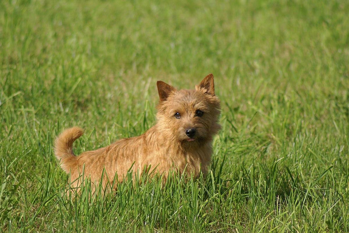 Norwich Terrier1.JPG