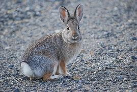 Lapin gris chine et beige, souligné de blanc sous le nez, le ventre et la queue. Grandes oreilles et yeux noirs