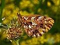 Nymphalidae - Boloria (Clossiana) dia-001.JPG