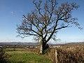 Oak and view near Sandslade Copse (2) - geograph.org.uk - 1170658.jpg