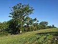 Oak below Griffin Farm - geograph.org.uk - 1340572.jpg