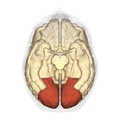 Occipital lobe - inferior view.png