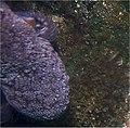 Octopodus vulgaris 0zz.jpg