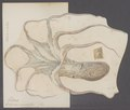 Octopus moschatus - - Print - Iconographia Zoologica - Special Collections University of Amsterdam - UBAINV0274 090 02 0003A.tif