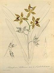 Odontoglossum schillerianum and Odontoglossum epidendroides-Xenia 1-22 (1858).jpg