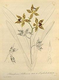 Odontoglossum schillerianum and Odontoglossum epidendroides-Xenia 1-22 (1858)