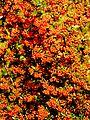 Ognik szkarłatny (Pyracantha coccinea M.Roem) 05.jpg