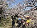 Okazaki-Park-Sakura-1.jpg