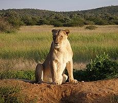 230px Okonjima Lioness