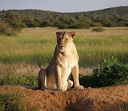 Lion - Wikipedia, the free encyclopedia