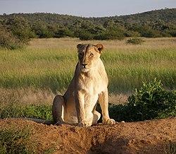 मादा (शेरनी)