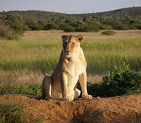 Female (lioness) in Okonjima