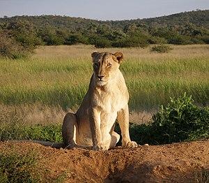 Lioness at Okonjima Lodge, Namibia