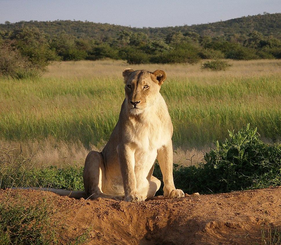 Okonjima Lioness