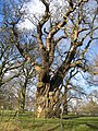 Old Tree at Gwysaney - geograph.org.uk - 315665.jpg