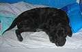 Old black labrador retriever.jpg
