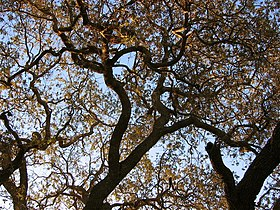 Old oak tree, Thousand Oaks CA.jpg