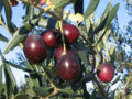 Olives from Croatia.jpg
