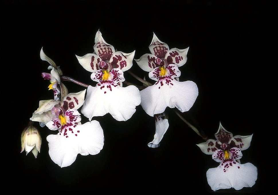 Oncidium phalaenopsis Orchi 01