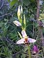 Ophrys apifera sl20.jpg