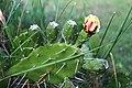 Opuntia ficus-indica flower, Rupani (3).jpg
