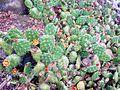 Opuntia macbridei (7657989016).jpg