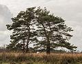 Opvallende vliegdennen (Pinus sylvestris). Locatie, natuurgebied Delleboersterheide – Catspoele 03.jpg