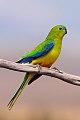 Orange-bellied Parrot (Neophema chrysogaster) (8079606816).jpg