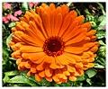 Orange Daisy - Flickr - pinemikey.jpg