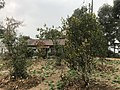 Orange Tree-Upper Sittong, Darjeeling 11.jpg