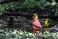 Orchard Oriole (male), Summer Tanager (male) & Blue-winged Warbler (bathing) Boy Scout Woods High Island TX 2018-04-11 12-44-59 (41083758404).jpg