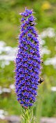 Orgullo de Madeira (Echium candicans), Madeira, Portugal, 2019-05-28, DD 32.jpg