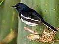 Oriental Magpie Robin (24143043496).jpg