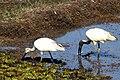 Oriental White Ibis (23559586399).jpg