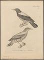 Oriolus xanthonotus - 1700-1880 - Print - Iconographia Zoologica - Special Collections University of Amsterdam - UBA01 IZ16400207.tif