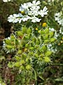 Orlaya grandiflora sl1.jpg
