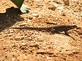 Ornate Tree Lizard - Flickr - treegrow.jpg
