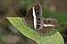 Orsotriaena medus mandata-Kadavoor-2016-02-07-002.jpg