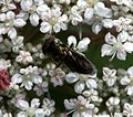 Orthonevra nobilis (male) - Flickr - S. Rae.jpg