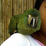 Orthopsittaca manilata -girl with parrot on shoulder-8a-4c.jpg