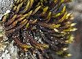 Orthotrichum bolanderi (Bolander's orthotrichum moss) (7045557343).jpg