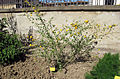 Orto botanico, fi, kerria japonica.JPG