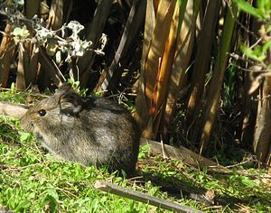 Otomys - Otomys irroratus, the Southern African vlei rat, a large specimen grazing on clover.
