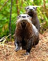 Otters at Lake Woodruff - Flickr - Andrea Westmoreland (1).jpg