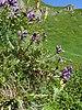 Oxytropis montana - Photo (c) Bernd Haynold, algunos derechos reservados (CC BY-SA)