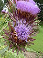 P1000578 Galactites tomentosa (Compositae) Flowers.JPG